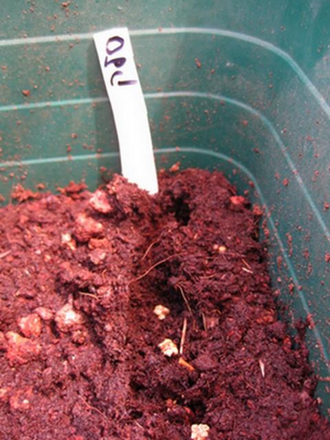 זרעים של סלק